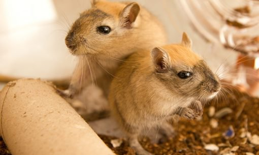 gerbils-looking-cage