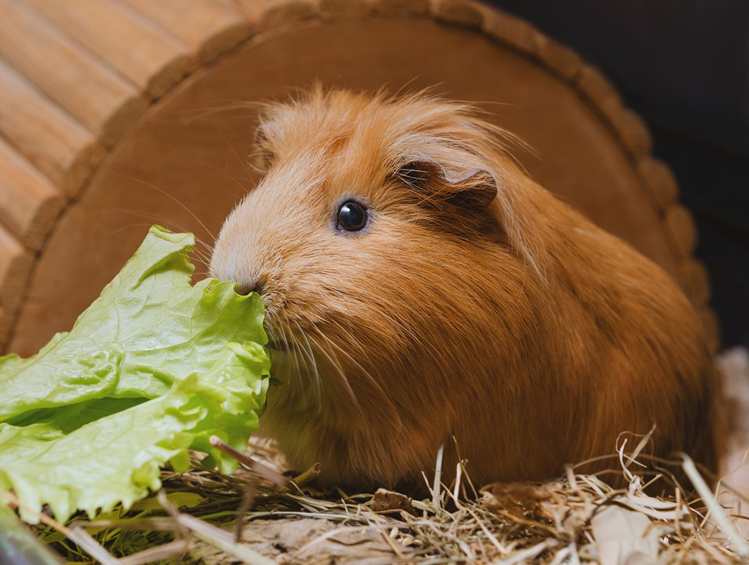 guinea-pig-eating-leafy-greens
