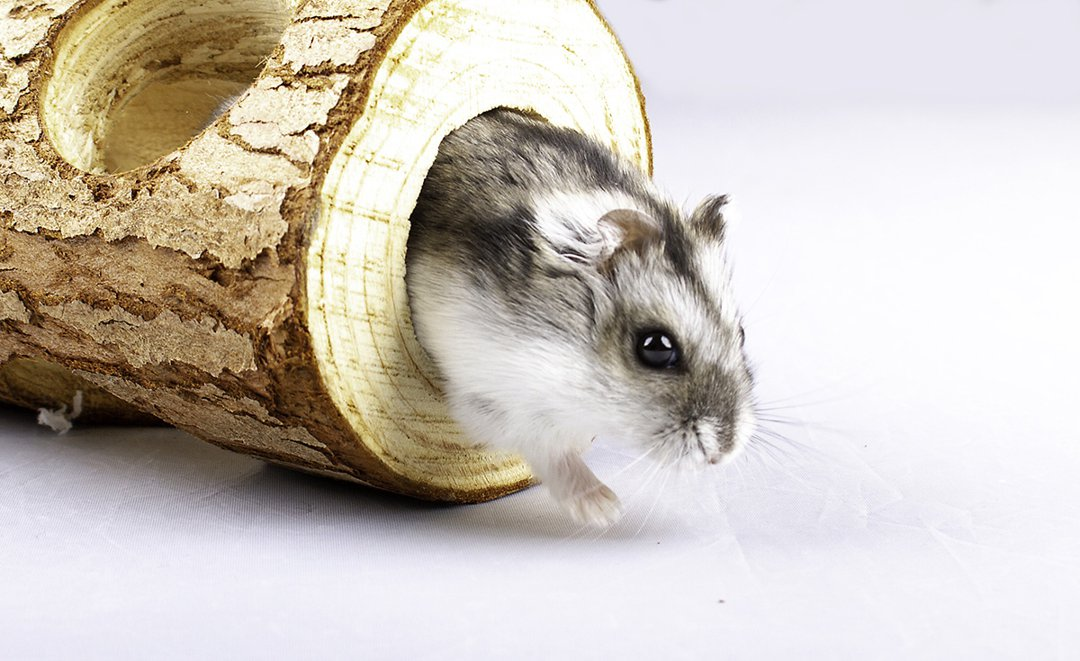 hamster-wooden-tunnel