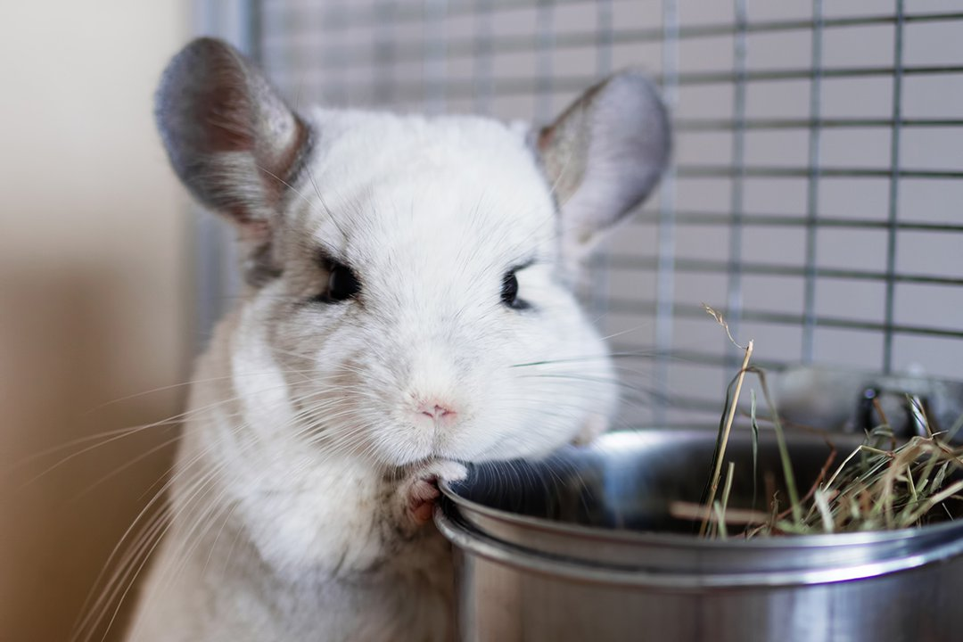 chinchilla-hay-bowl