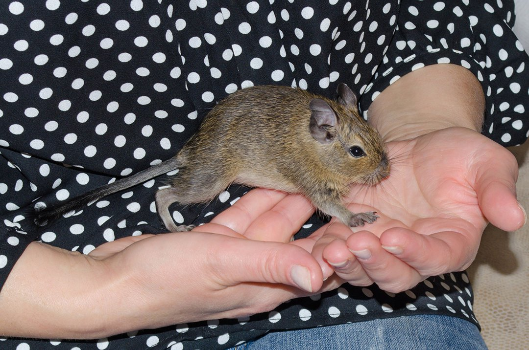 Degu-in-owners-hands