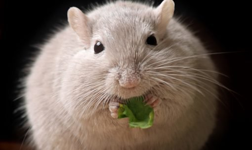 mouse eating greens