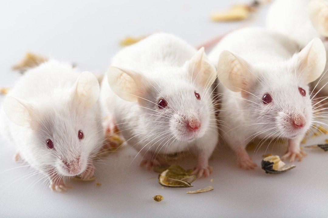3-albino-mice-eating