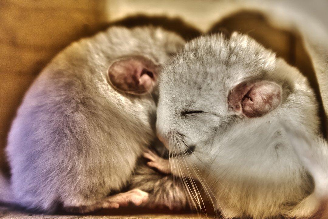 Chinchilla-cuddle