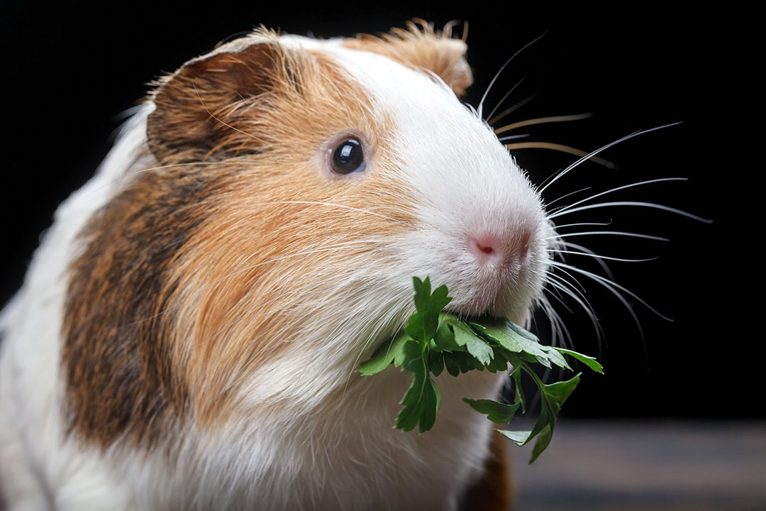 Guinea-Pig-Eating-Herbs
