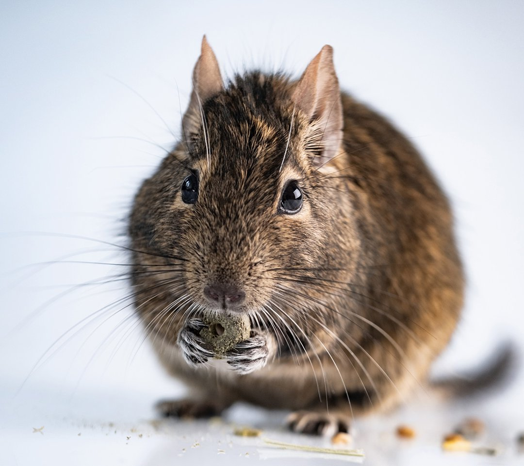degu-eating-treats