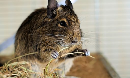 degu-eating-hay-in-cage