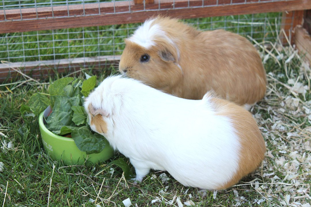 two-guinea-pigs-in-outdoor-hutch