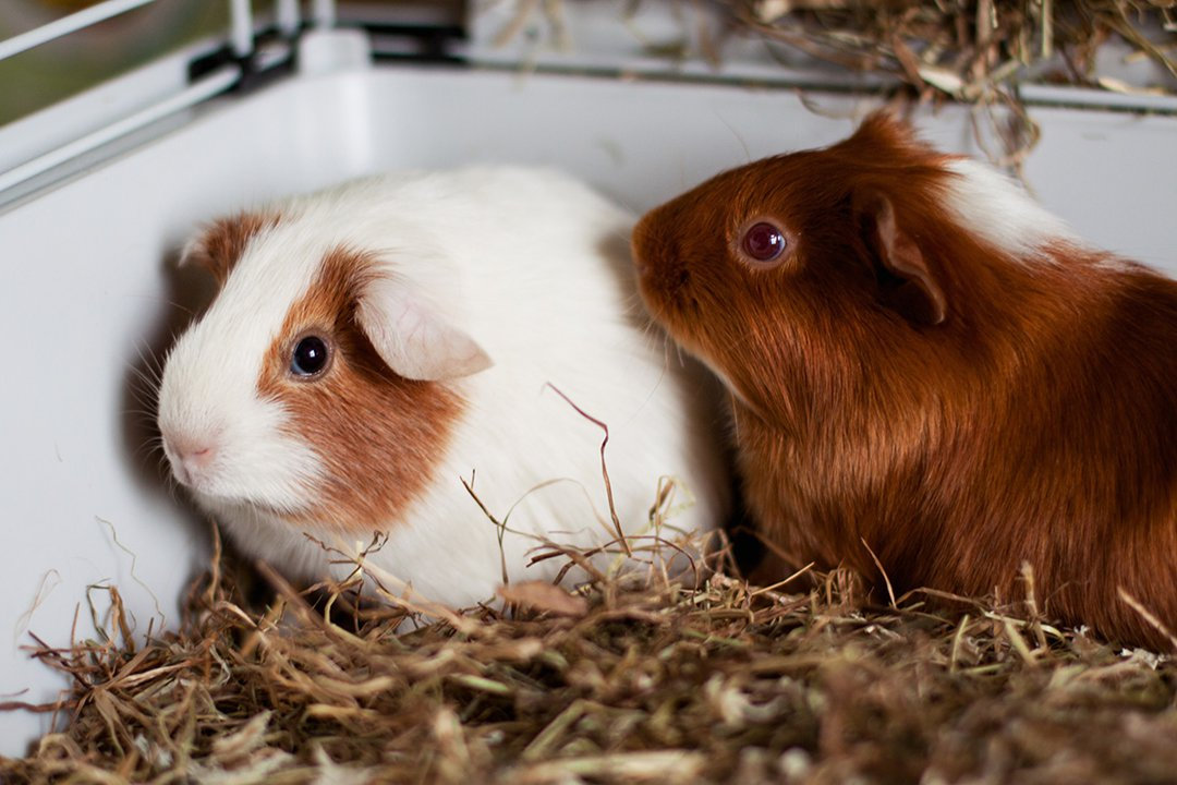 two-guinea-pigs-in-indoor-cage