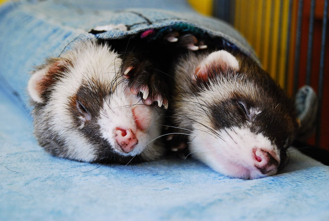 two ferrets sleeping