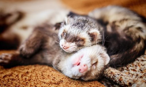 ferrets together cuddling