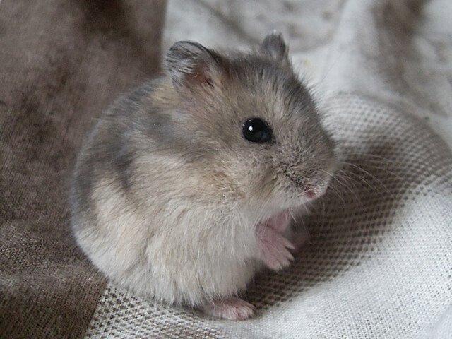 campbells-russian-dwarf-hamster