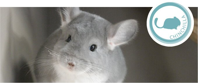 chinchillas-feeding-guide