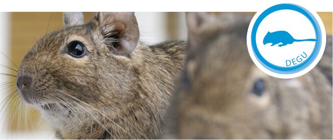 degus-feeding-guide