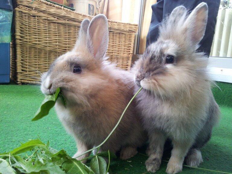 indoor-rabbits