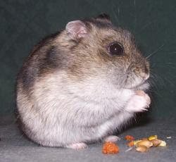 winter-white-russian-dwarf-hamster
