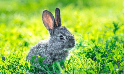 Bunny Rabbit In A Sunny Field