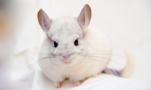 Chinchilla Close Up