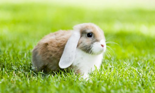 Bunny Rabbit In The Grass