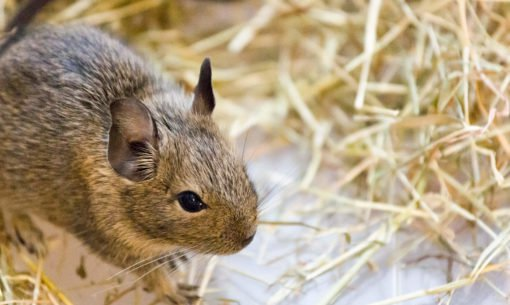 A Common Degu In Hay