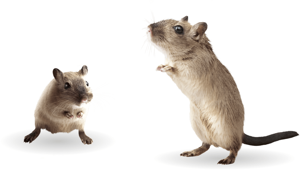 gerbil-group