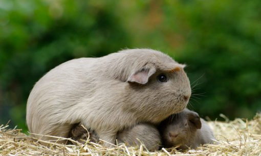 Guinea pig with babies