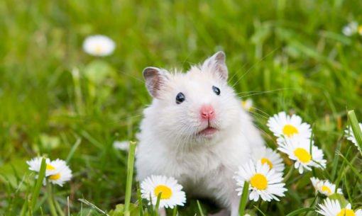 Hamster in a grass field with dasies