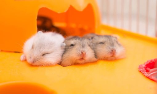Three Sleeping Hamsters