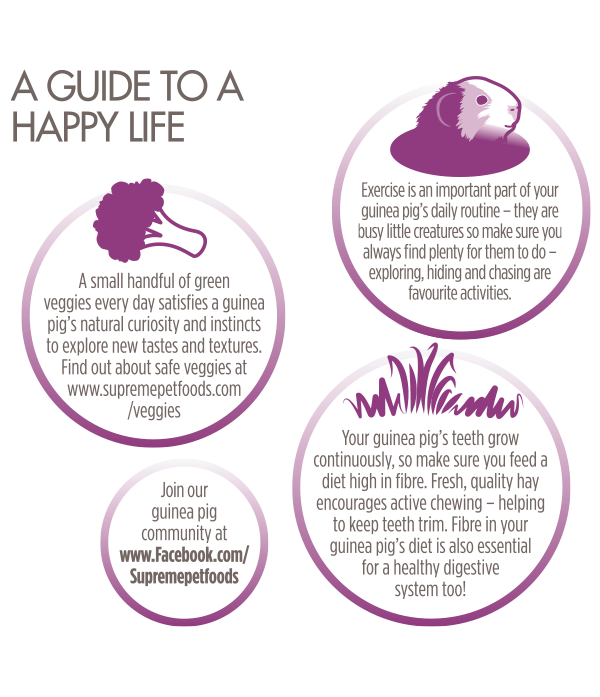 Guinea-Pig-Happy-Life