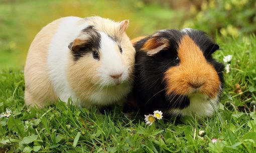 can male and female guinea pigs be kept together?