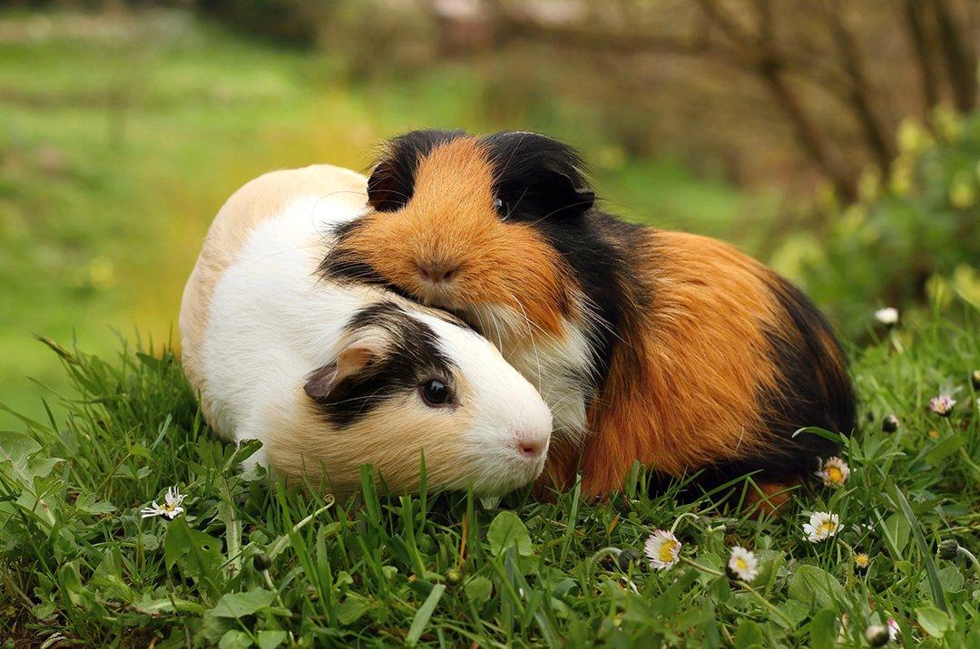 Guinea-Pigs-Pair-Hug