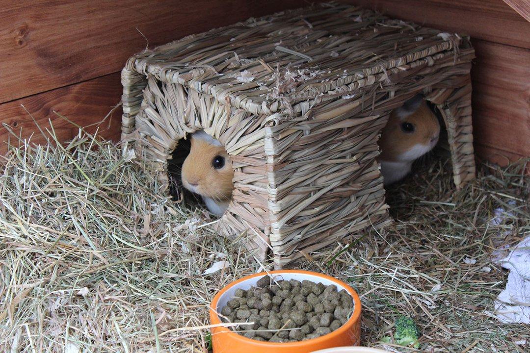 Guinea-Pig-Hutch