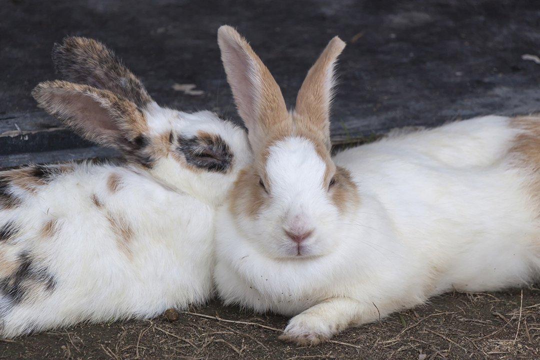 Rabbits-pairs-cuddle