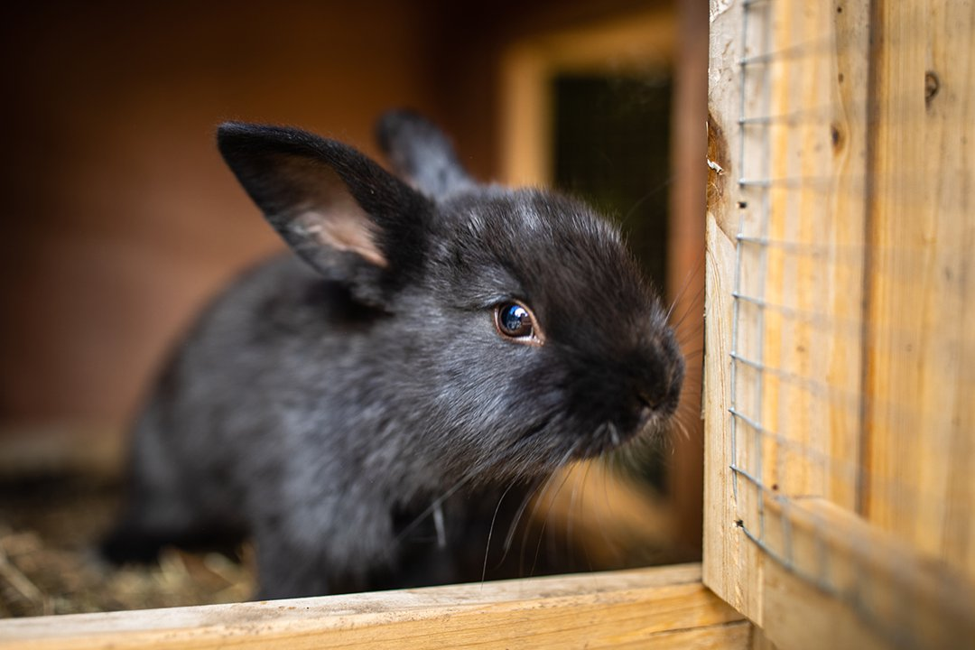 black-rabbit-hutch