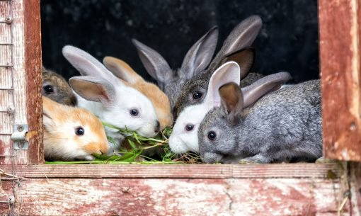 Keeping-Rabbits-Clean-hutch