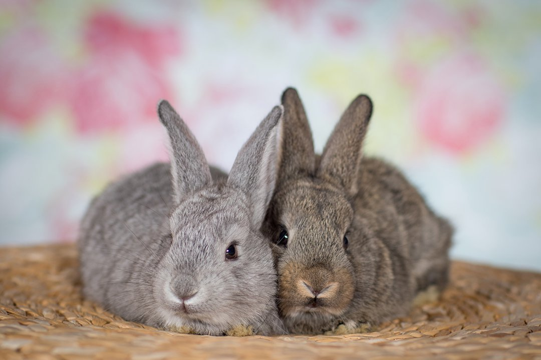 rabbit-pair