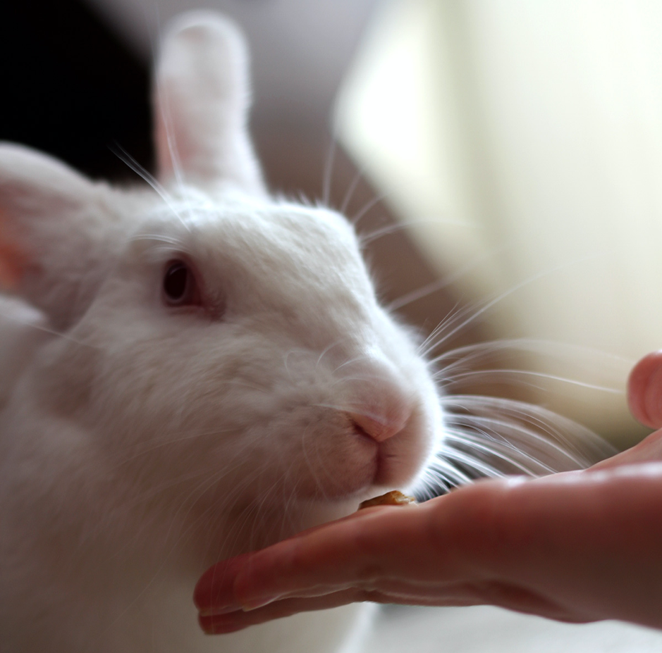 Feeding white rabbit