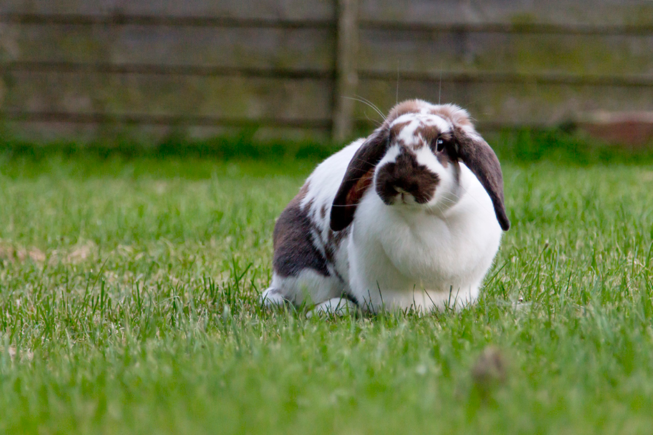 Overweight Rabbit out exercising