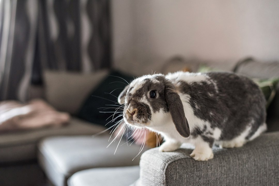 rabbit-on-sofa