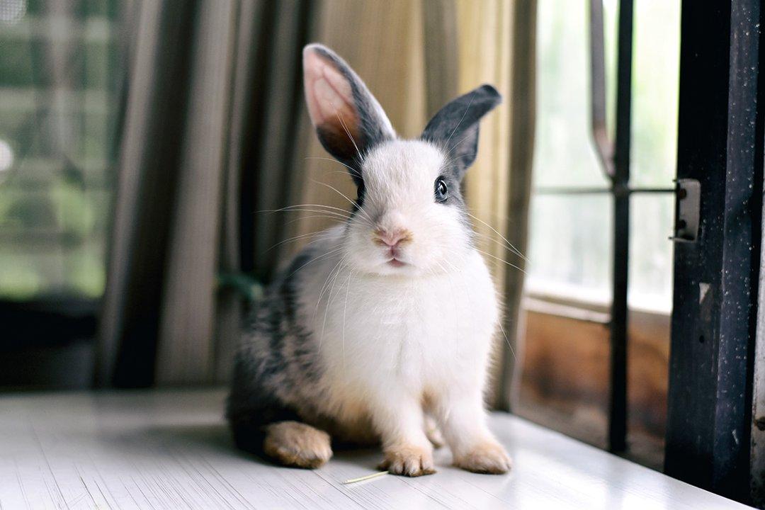 rabbit window