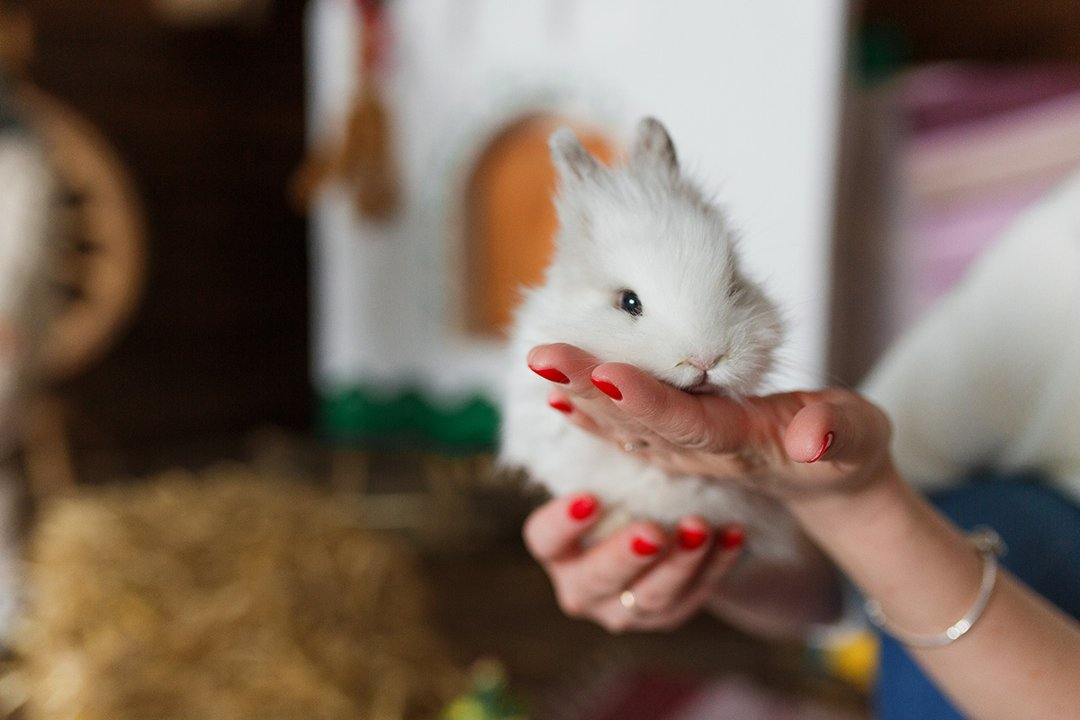 Rabbit on woman hands