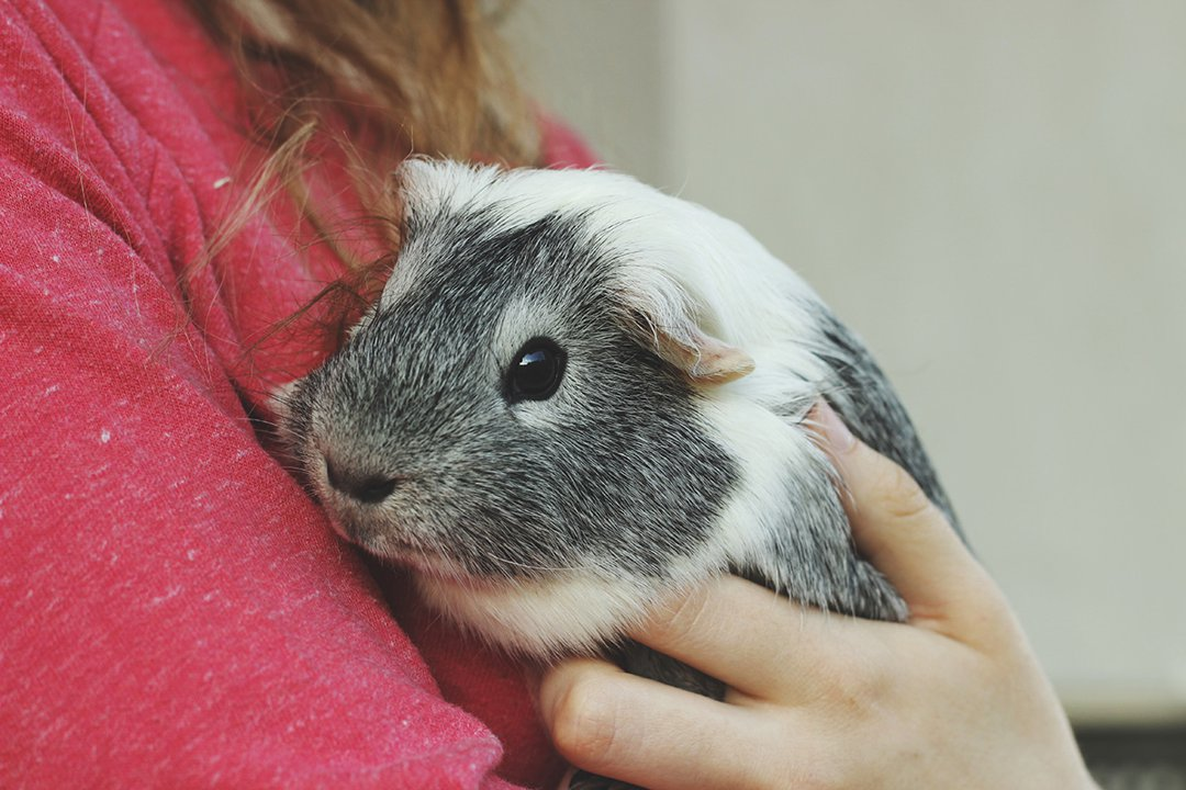 guinea pig being held