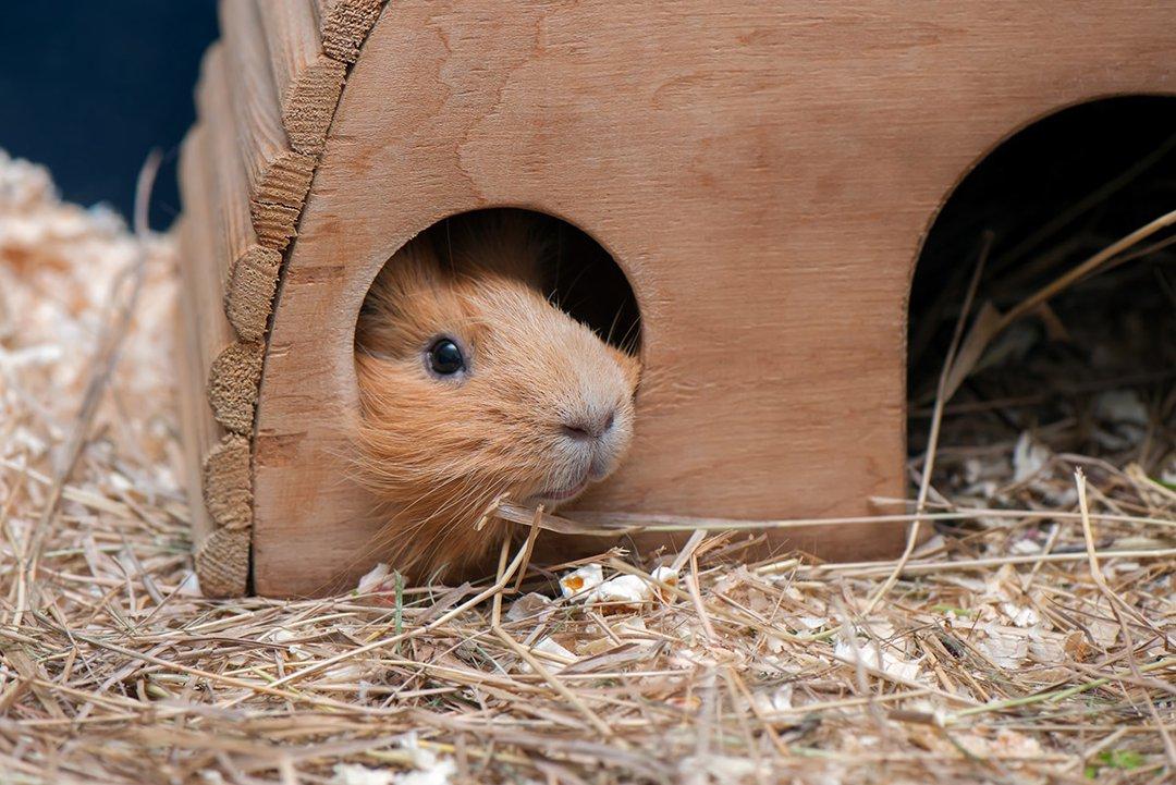 Guinea Pig Hay Home