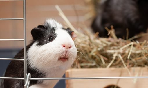 Guinea Pig Hay Hutch