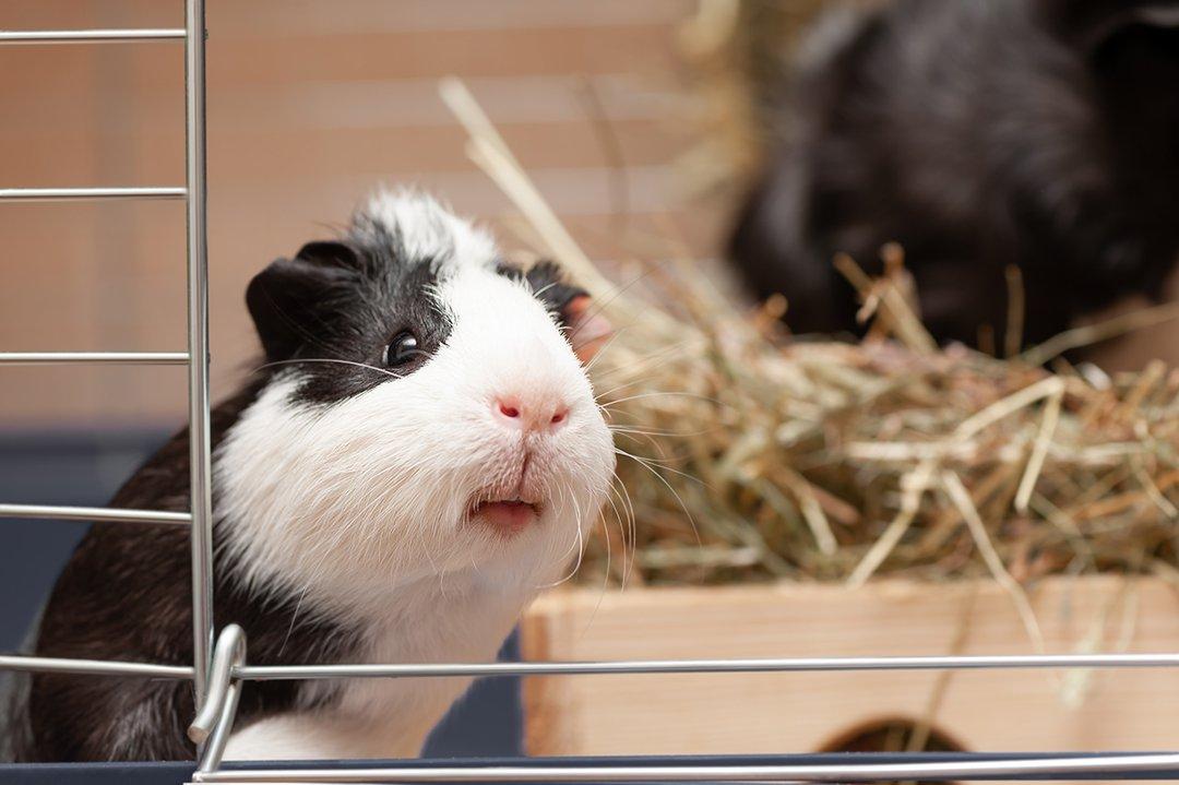Guinea Pig Hay Hutch