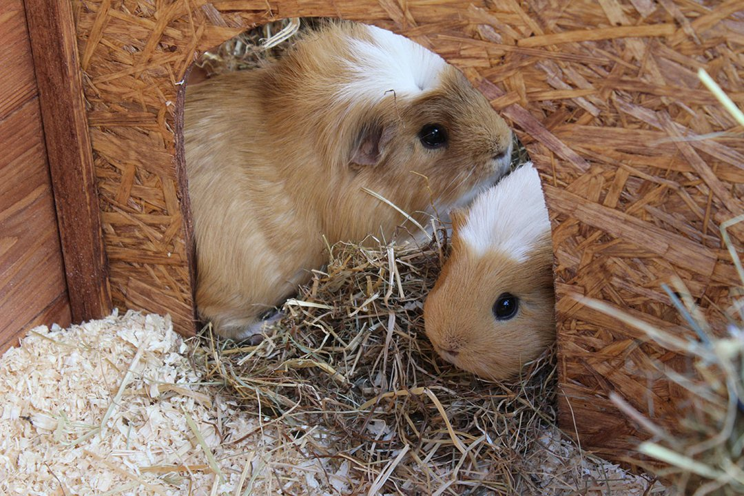 Two Guinea Pigs Hay Home