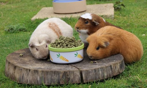 Jimmy's Farm Guinea Pigs