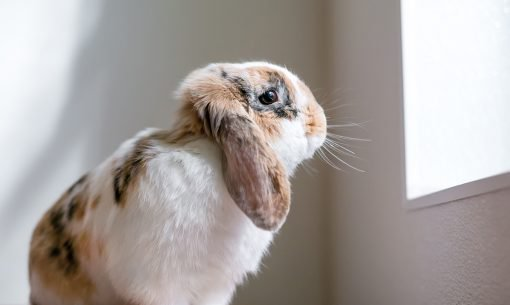 rabbit looking out window