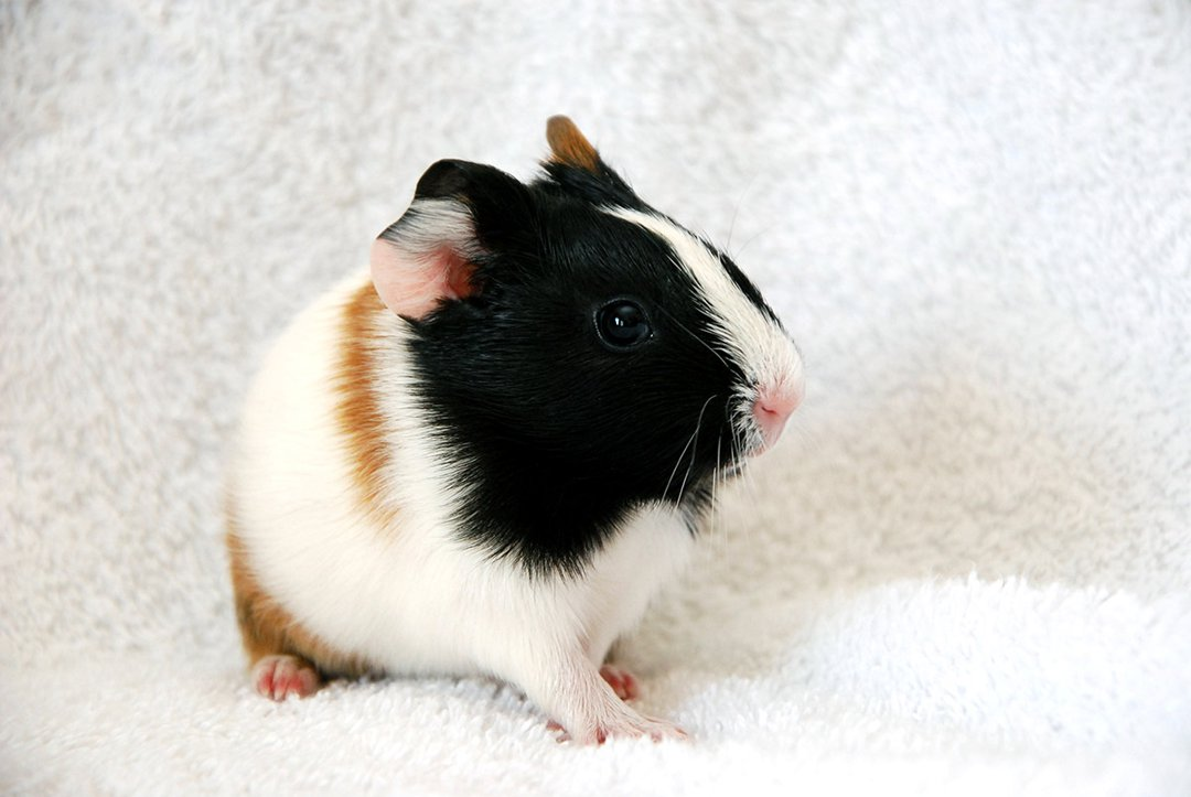 guinea pig towel