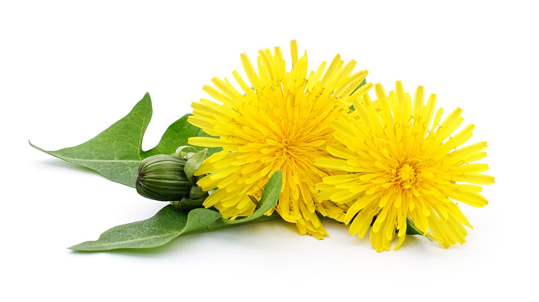 Two dandelions with leaves